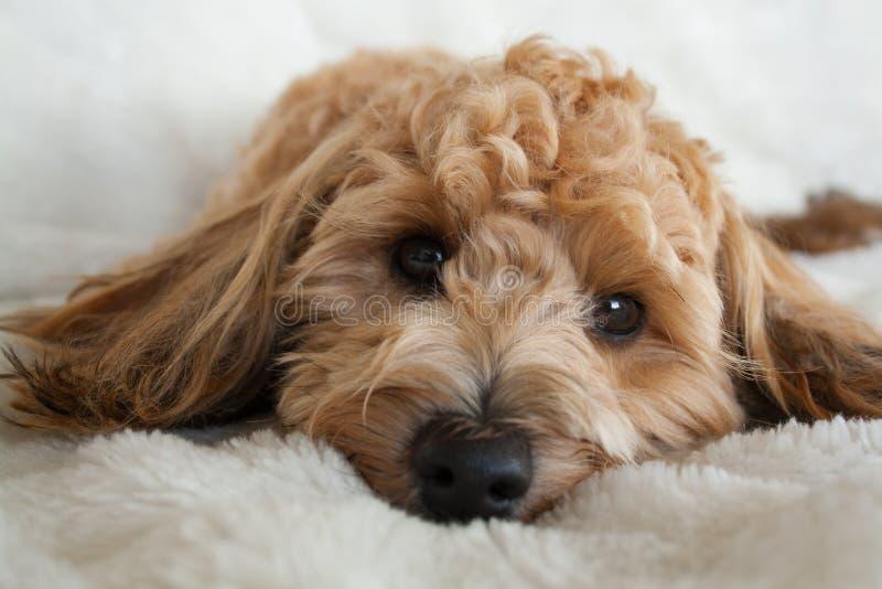 Rustend puppy royalty-vrije stock fotografie