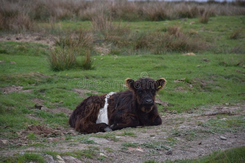 Rustend Shaggy Belted Galloway Calf Laying neer royalty-vrije stock foto