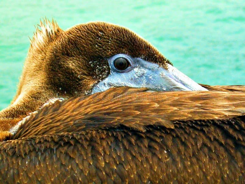 Rustende pelikaan royalty-vrije stock afbeelding