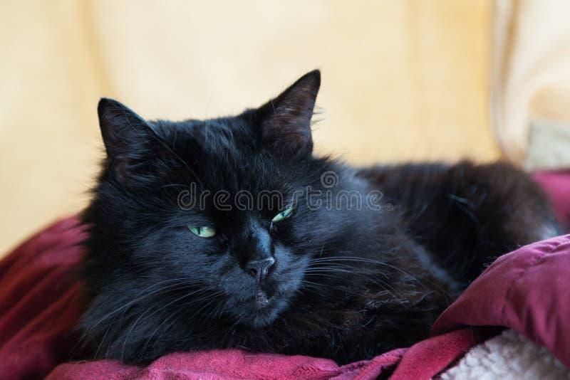 Rustende Zwarte Cat With een Rode Deken royalty-vrije stock foto