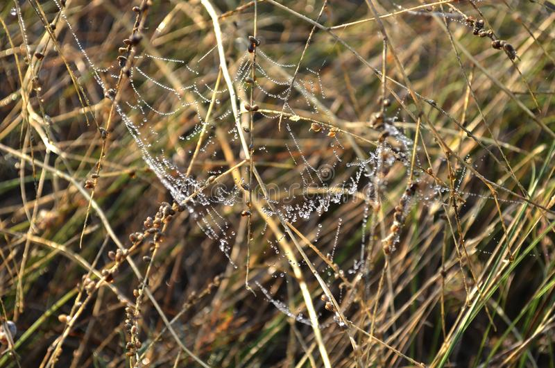 Drops of morning dew on a web among dry yellow grass royalty free stock photos