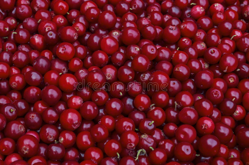 Rustic background with red tasty colorful cranberries, top view. Soft focus, closeup cranberry photo for eco cookery business. Ant royalty free stock photos