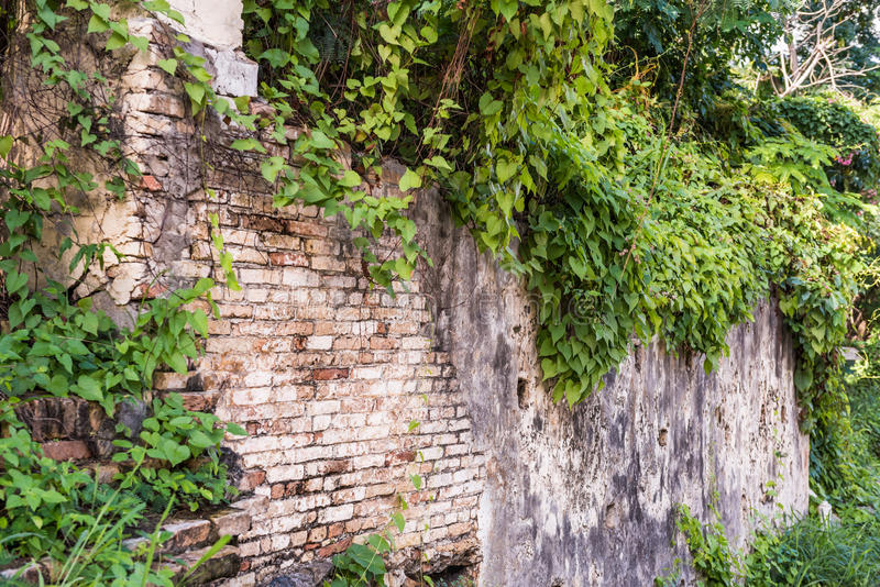 Rustic brick wall with Ivy. In Christiansted St. Croix royalty free stock images