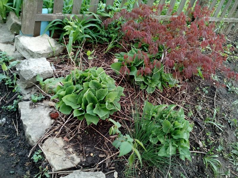 Rustic Landscape. Hostas and a Japanese Maple in rustic landscape stock image