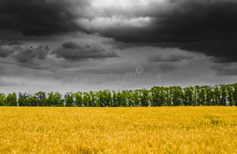 Rustic landscape with yellow rye field and green forest under the gloomy sky. Seasonal paysage with the harvest royalty free stock photography