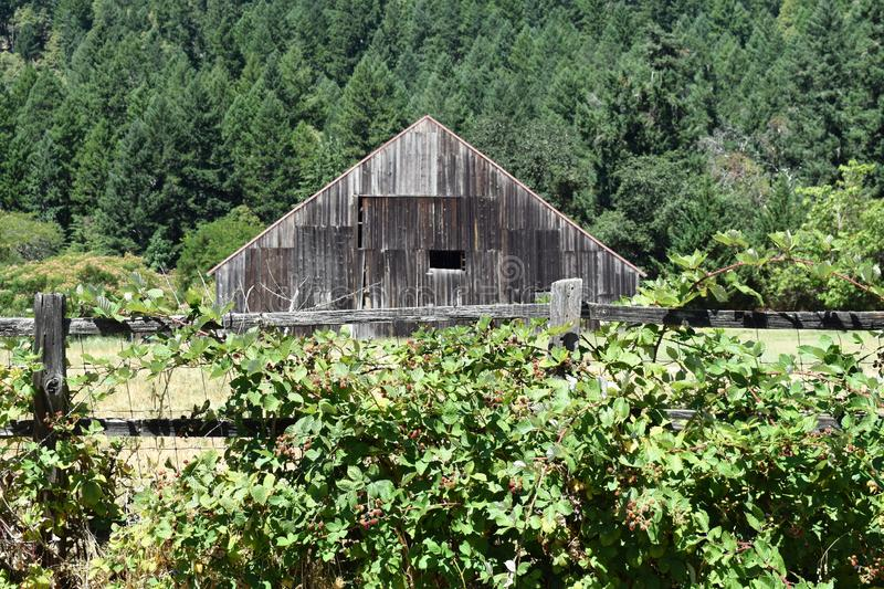 Rustic Old Barn by Forest Fronted by Fence with Berry Vines. Vintage barn surrounded by forest in background with fence holding berry vines in foreground royalty free stock photo
