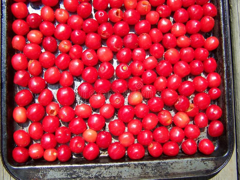 Rustic pan of fresh cherries. Tart cherries are washed and are being prepared for the freezer royalty free stock photo