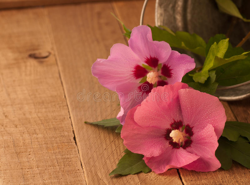 Rustic Still Life and Rose of Sharon Flowers royalty free stock photo