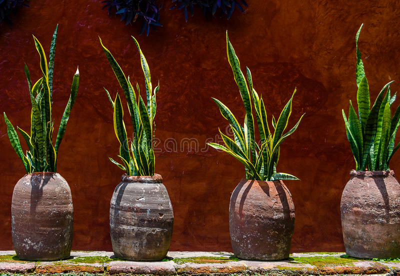 Rustic wall with snake plant in pots stock photos