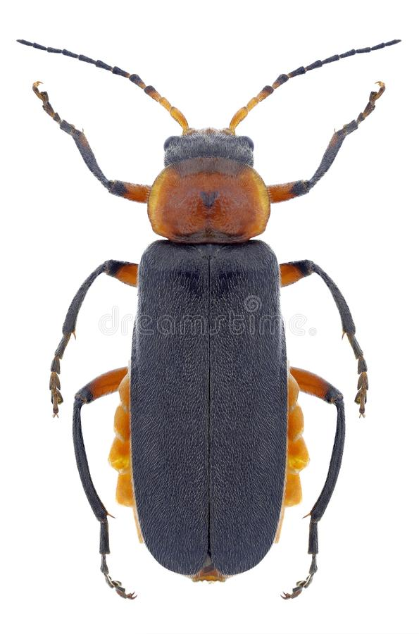 Rustica Cantharis жука стоковое фото rf