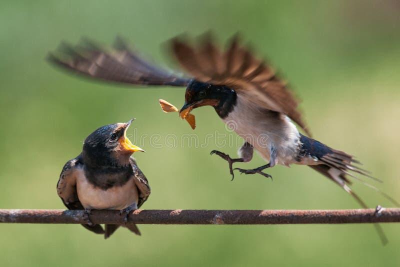 Rustica de Hirundo d'hirondelle de grange alimentant son oisillon en vol photos stock