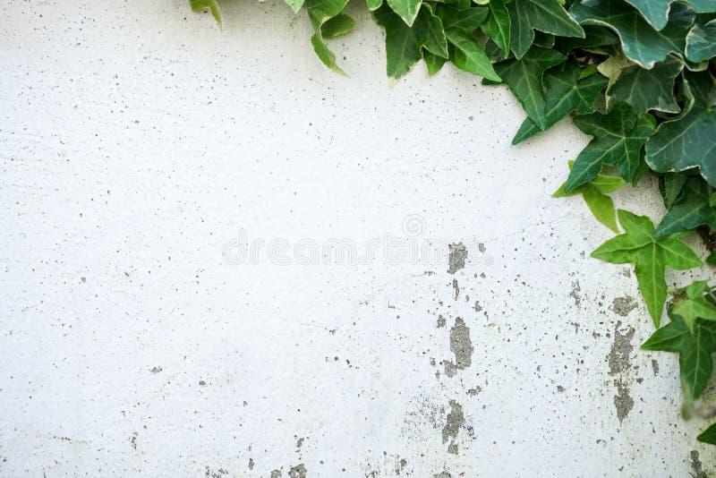 Rustieke en beschadigde witte muur die half door Gemeenschappelijke Klimop wordt behandeld Ook genoemd geworden Hedera-schroef, E stock afbeelding