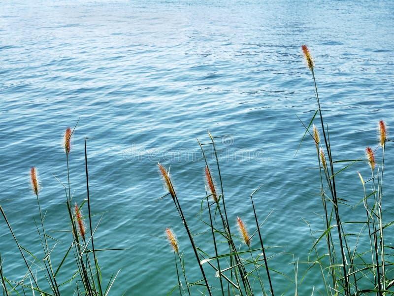 Rustige Scène van Palea-Grassen in de Wind door het Overzees royalty-vrije stock fotografie