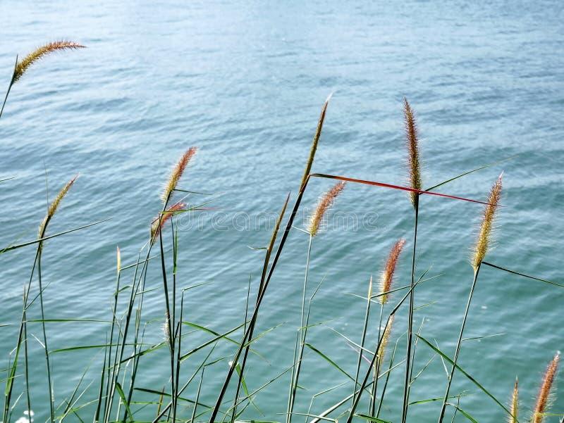 Rustige Scène van Palea-Grassen in de Wind door het Overzees royalty-vrije stock afbeeldingen