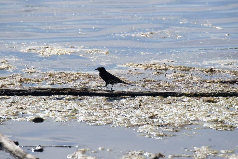 Download Rusty Blackbird (Emphagus Carolinus) Reflections Lake Palmer Alaska Stock Photo - Image of magpie, beach: 56619776
