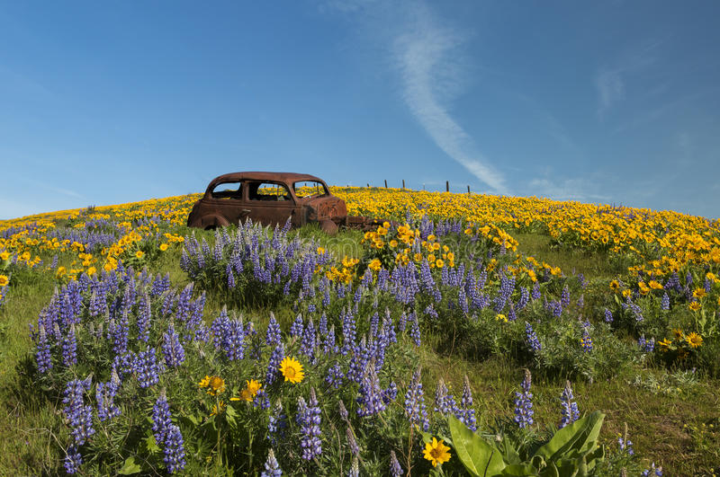 Rusty Car and Wild Flowers. The old rusty car sits on the hill in Columbia Hills Park. In spring wild flowers start blooming on the hills, and make it a royalty free stock photos