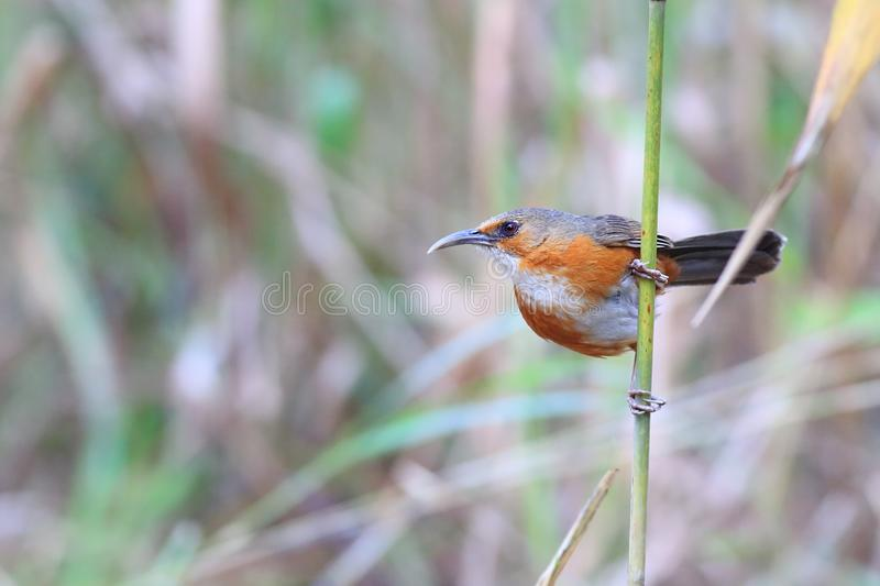 Rusty-cheeked Scimitar Babbler royalty free stock photo