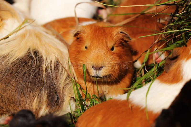 A rusty guinea pig lying in grass with other guys. He is watching some buddies. Leader of gunea pigs stock photos