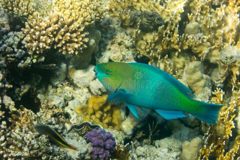 Rusty Parrotfish stock foto