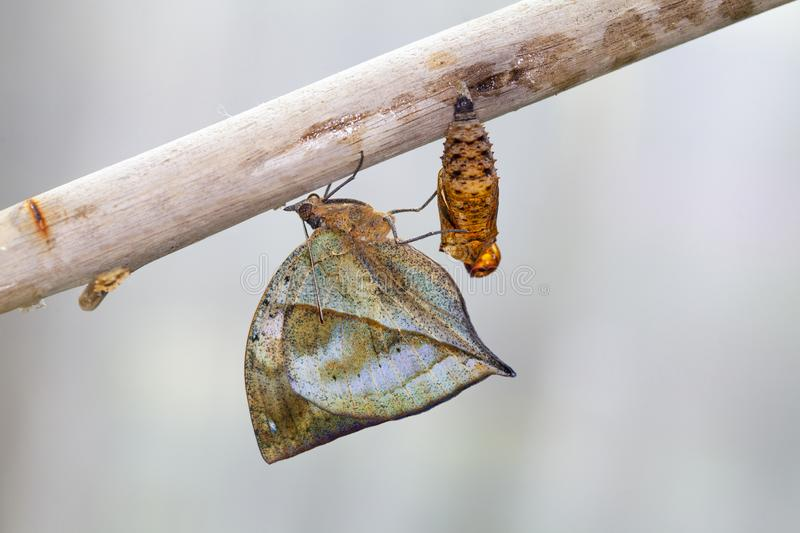 Rusty tipped page butterfly spiroeta epaphus out of its pupa white background space to put text. A row of ready to emerge pupae of the plain tiger butterfly royalty free stock photo