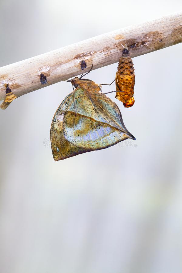 Rusty tipped page butterfly spiroeta epaphus out of its pupa white background space to put text. A row of ready to emerge pupae of the plain tiger butterfly stock photo
