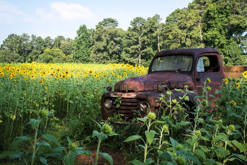 Rusty Truck Amidst un campo dei girasoli immagine stock