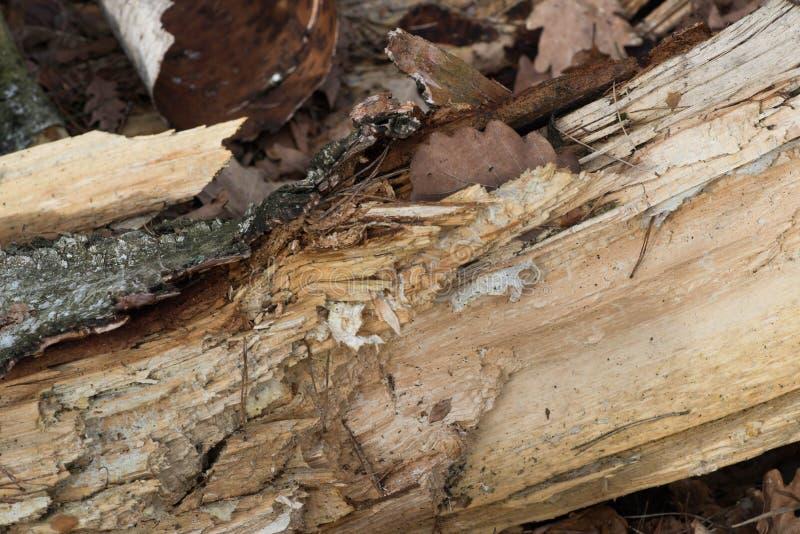 Rutten closeup för björkträd royaltyfria bilder