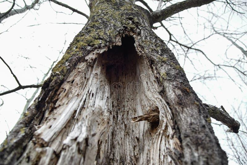 Rutten stam av ett torkat träd royaltyfri foto