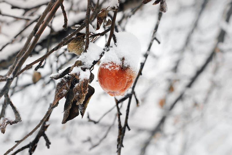 Ruttet äpple på ett träd i vinter arkivbild