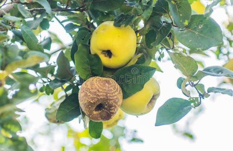 Ruttet äpple på träd arkivfoton