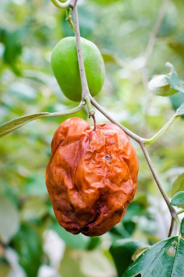 Ruttet apaäpple eller Jujube arkivfoton
