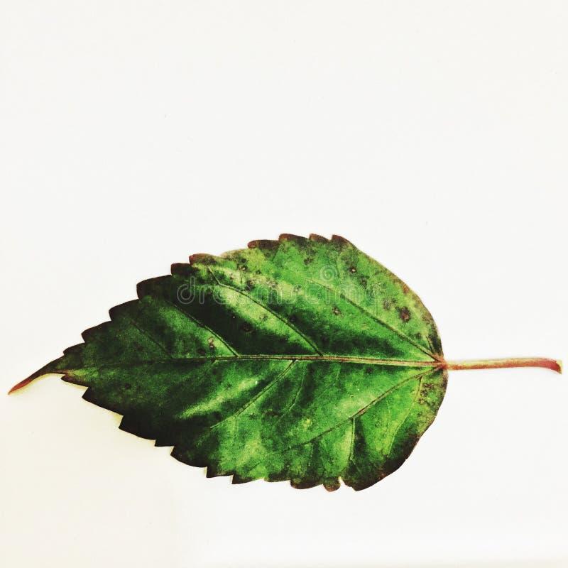 ruttet hibiskusblad royaltyfri bild
