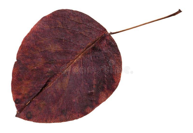 ruttet isolerat höstblad av päronträdet royaltyfria foton