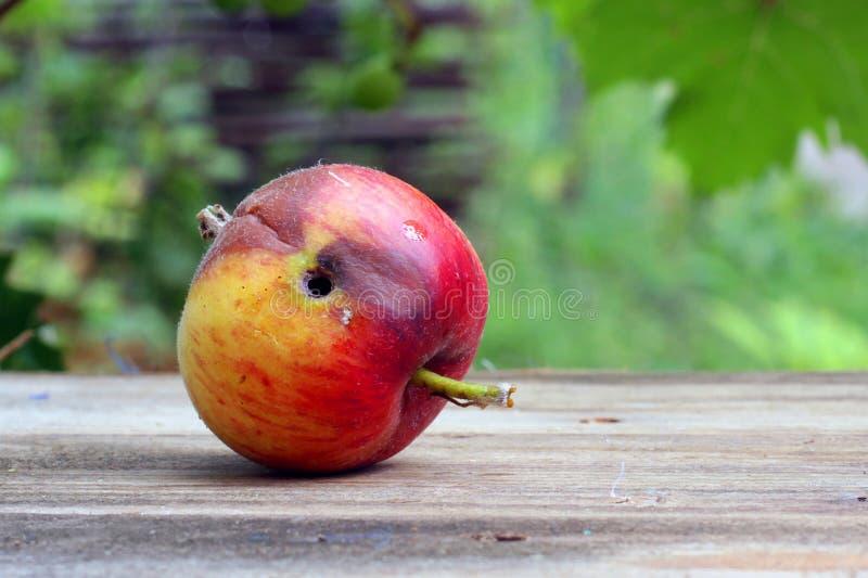 Ruttet och avmaska-ätit wormy äpple arkivbild