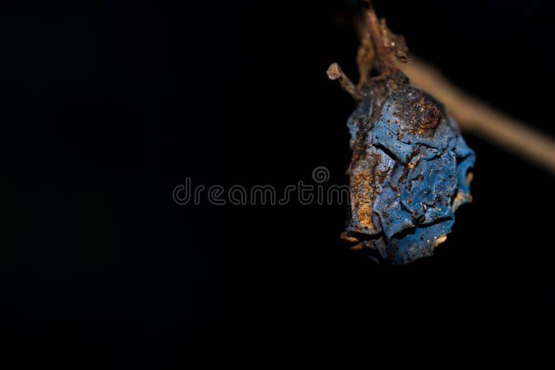 Ruttet torkat plommonfruktslut upp på trädet som isoleras på svart arkivfoton