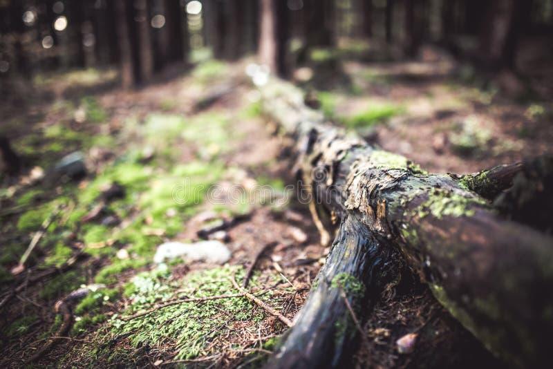 Ruttet träd i ett trä täckt av mossa arkivbilder