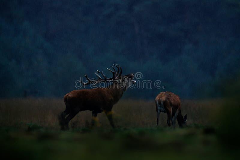 Rutting季节,夜照片在雨中 马鹿雄鹿,吼叫庄严强有力的成人动物秋天森林,在的大动物外 免版税库存照片