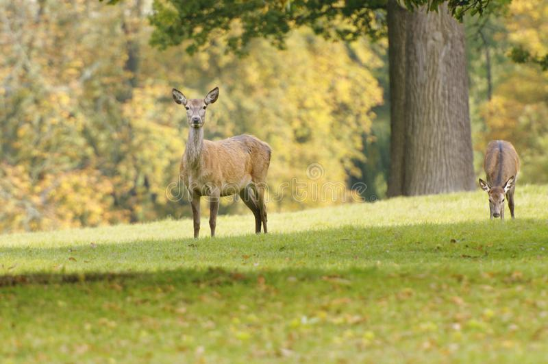 Rutting鹿女性观看 Knebworth公园 树秋天 库存照片