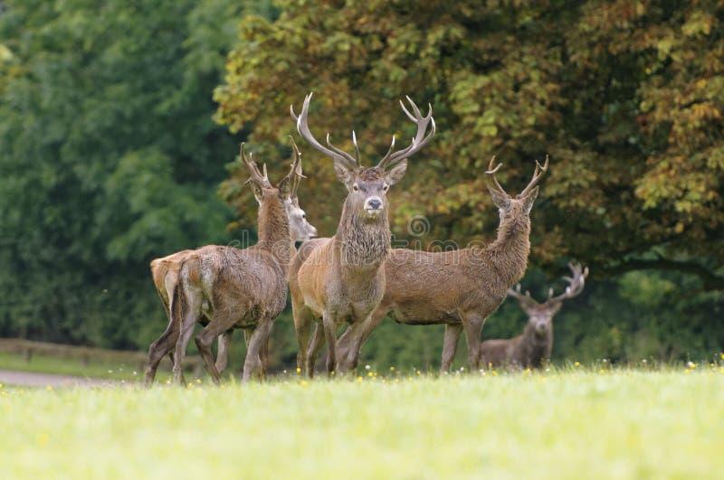 Rutting鹿男性观看 Knebworth公园 树秋天 图库摄影