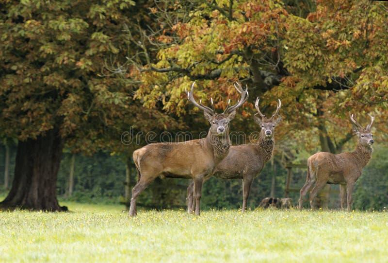 Rutting鹿男性观看 Knebworth公园 树秋天 免版税库存照片