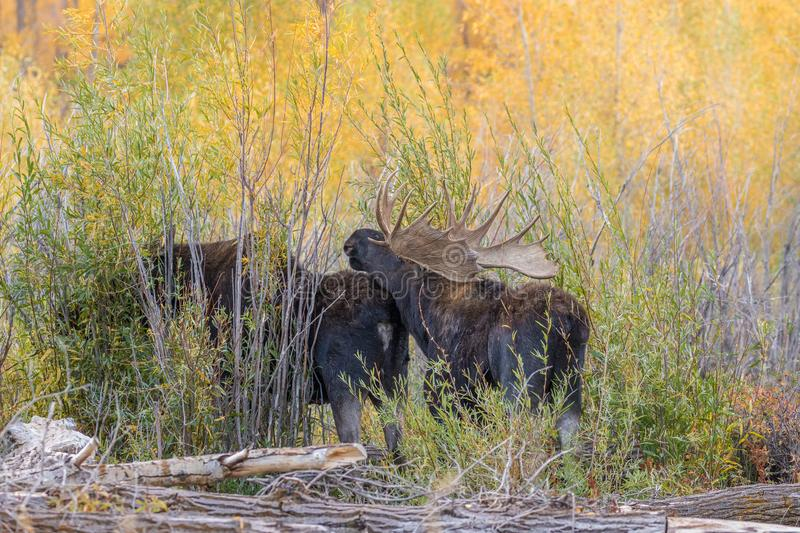Rutting Bull and Cow Moose. A bull and cow shiras moose in the fall rut in Wyoming stock photos
