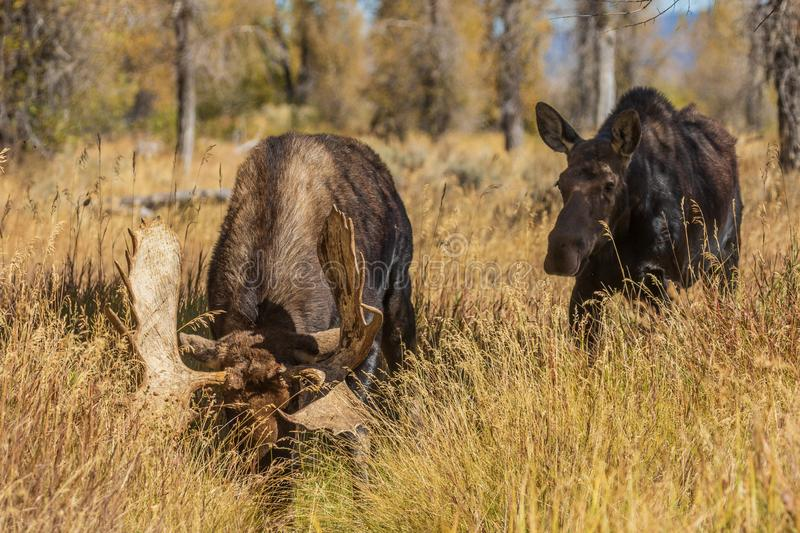 Rutting Bull and Cow Shiras Moose. A bull and cow shiras moose rutting in Wyoming in fall stock photography