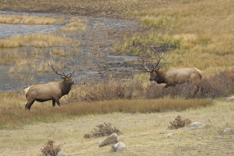 Rutting Bull Elk Showing Off Stock Photo