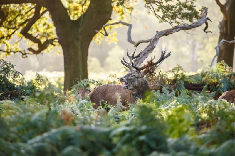 Rutting czerwonych rogaczy jeleń bellowing w drewnach fotografia royalty free
