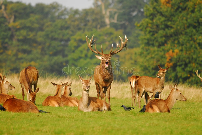 Download Rutting Season stock photo. Image of mating, fighting - 6777608