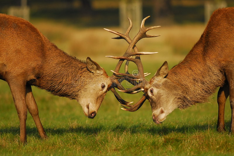Download Rutting Season Royalty Free Stock Image - Image: 6778106