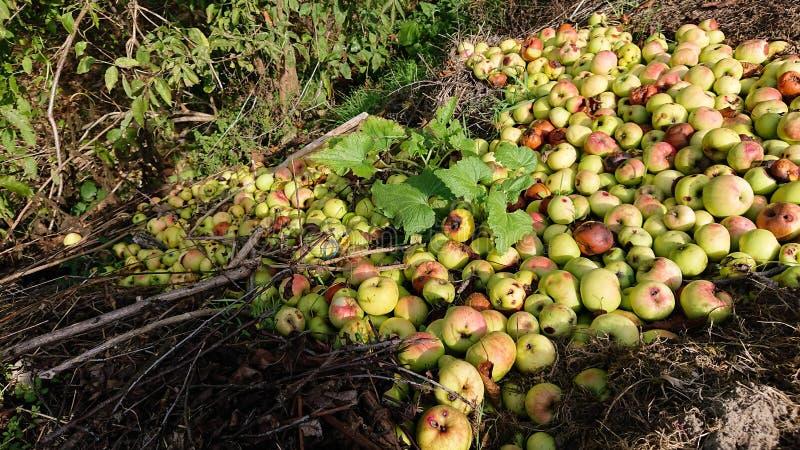 Ruttna äpplen arkivfoton
