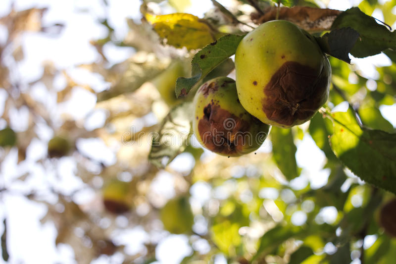 ruttna äpplen royaltyfri bild