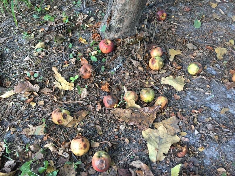 Ruttna äpplen på grunden av trädet arkivbild