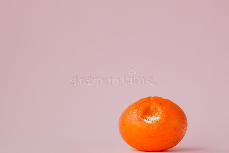 Ruttna mögliga apelsiner, tangerin på rosa bakgrund Ett foto av den växande formen Matförorening, dåligt bortskämt äckla royaltyfria foton